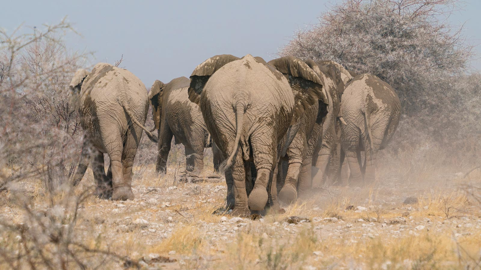 Namibia PRT Wildlife Elephants